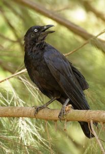 The little raven on a silky oak branch