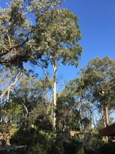 Our 35 metre spotted gum in the garden
