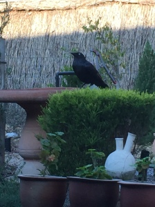 Little raven drinking from our bird bath