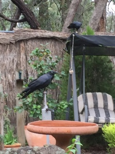 Two ravens in the garden with the food capsule untouched