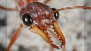 Head of a bull ant